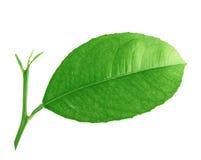 Folhas do limão isoladas no fundo branco Imagem de Stock