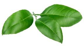 Folhas do limão isoladas no fundo branco Imagens de Stock