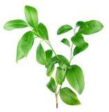 Folhas do limão isoladas no fundo branco Fotos de Stock Royalty Free