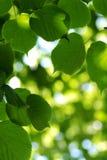 Folhas do Linden Imagem de Stock