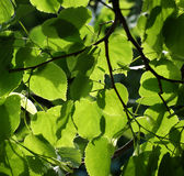 Folhas do Linden Foto de Stock Royalty Free
