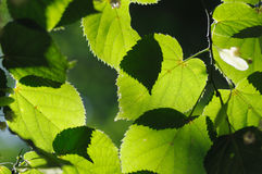 Folhas do Linden. Foto de Stock Royalty Free