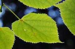 Folhas do Linden. Imagem de Stock