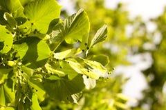 Folhas do Linden Fotografia de Stock