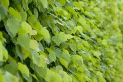 Folhas do Linden Fotografia de Stock Royalty Free