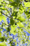 Folhas do Linden, mola Fotos de Stock