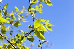 Folhas do Linden, mola Imagens de Stock Royalty Free