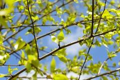 Folhas do Linden, mola Imagem de Stock