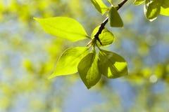 Folhas do Linden, mola Imagens de Stock