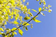 Folhas do Linden, mola Imagem de Stock Royalty Free