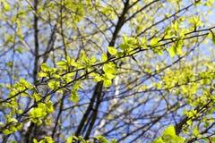 Folhas do Linden, mola Fotografia de Stock