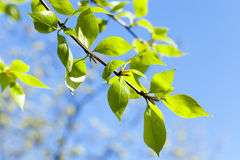 Folhas do Linden, mola Foto de Stock