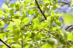 Folhas do Linden, mola Fotografia de Stock Royalty Free
