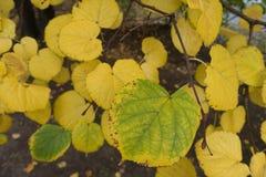 Folhas do Linden no outono meados de Fotografia de Stock Royalty Free