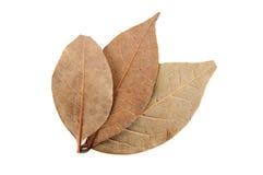Folhas do louro no fundo branco Imagem de Stock Royalty Free