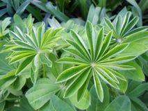 Folhas do Lupine que abrem a planta de jardim Imagem de Stock Royalty Free