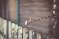 Folhas do marrom e ramos secos bonitos da árvore na frente da fachada do passeio à beira mar da casa de verão velha escuro-cinzen Imagem de Stock