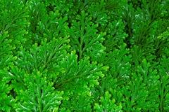 Folhas do martensii do Selaginella foto de stock