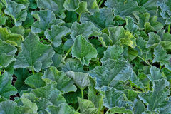 Folhas do melão Fotografia de Stock