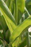 Folhas do milho Foto de Stock