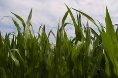 Folhas do milho Imagem de Stock
