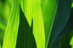 Folhas do milho Fotos de Stock