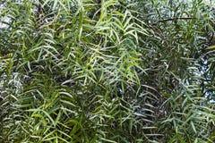 Folhas do molle do schinus ou da árvore de pimenta falsa ' Aroeira Salsa' em Brasil foto de stock royalty free
