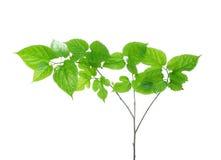 Folhas do Mulberry Fotos de Stock