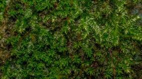 Folhas do musgo Foto de Stock
