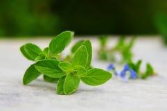 Folhas do Oregano Fotos de Stock