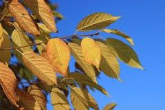 Folhas do ouro da árvore da pássaro-cereja contra o céu azul Imagens de Stock