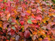 Folhas do outono com gotas da chuva fotos de stock royalty free