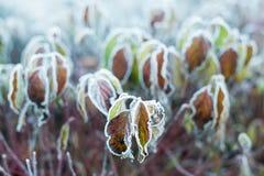 Folhas do outono/inverno cobertas no amanhecer Frost à terra foto de stock