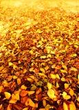 Folhas do outono na floresta Imagens de Stock Royalty Free