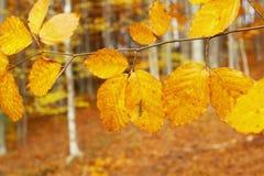 Folhas do outono na floresta imagem de stock