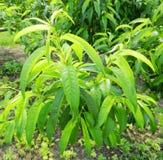 Folhas do pêssego Foto de Stock
