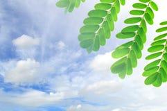 Folhas do pavão Fotografia de Stock