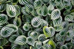 Folhas do peperomia da melancia do sandersii do Peperomia Fotografia de Stock