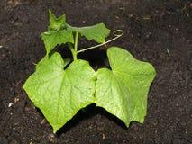 Folhas do pepino fotografia de stock