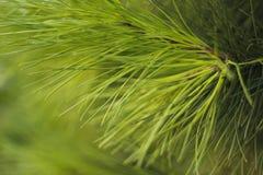 Folhas do pinheiro Foto de Stock Royalty Free