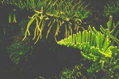 folhas do pinho Foto de Stock