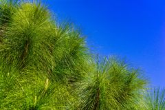 folhas do pinho Fotos de Stock