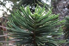 Folhas do pinho como Dragon Scales imagem de stock
