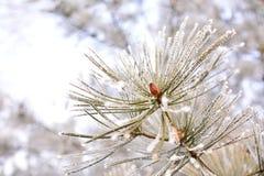 Folhas do pinho do inverno Fotos de Stock Royalty Free