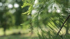 Folhas do pinho no crescimento do vento para baixo video estoque