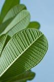 Folhas do Plumeria Fotos de Stock