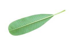 Folhas do Plumeria Imagem de Stock