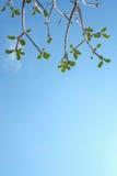 Folhas do Plumeria com o céu Fotografia de Stock Royalty Free