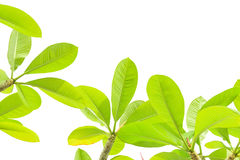 Folhas do Plumeria isoladas no fundo branco Imagens de Stock Royalty Free