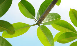 Folhas do Plumeria ou do Frangipani Foto de Stock